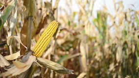 Ripe maize on the cob in cultivated agricultural corn field ready for harvest picking stock video