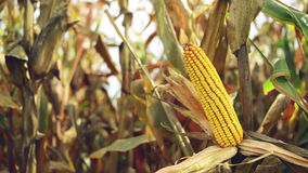 Ripe maize on the cob in cultivated agricultural corn field ready for harvest picking Stock Photography