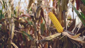 Ripe maize on the cob in cultivated agricultural corn field ready for harvest picking. stock footage