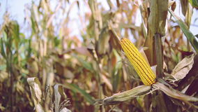 Ripe maize on the cob in cultivated agricultural corn field ready for harvest picking stock footage