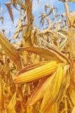 Ripe maize corn on the cob Stock Photo
