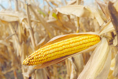 Ripe maize corn on the cob Stock Image