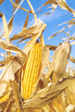 Ripe maize corn on the cob Royalty Free Stock Photo