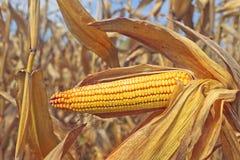 Ripe maize corn on the cob Stock Photos
