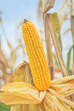 Ripe maize corn on the cob Royalty Free Stock Image