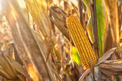 Ripe maize corn on the cob Royalty Free Stock Photos