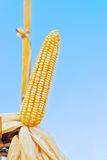 Ripe maize corn on the cob Stock Photography
