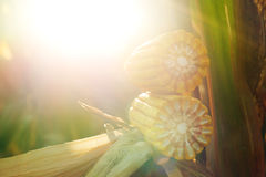 Ripe maize corn on the cob Stock Photo