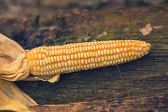 Ripe maize corn on the cob Royalty Free Stock Images