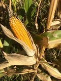 Ripe maize corn ear on the cob. In cultivated agricultural corn field ready for harvest picking Stock Photography