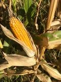 Ripe maize corn ear on the cob Stock Photography