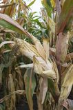 Ripe maize ear in cultivated agricultural corn field ready for harvest royalty free stock image