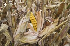 Ripe maize ear in cultivated agricultural corn field ready for harvest stock photos
