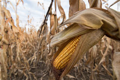 Ripe maize ear in cultivated corn field ready for harvest Royalty Free Stock Photo
