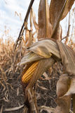 Ripe maize ear in cultivated corn field ready for harvest Royalty Free Stock Image