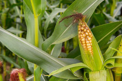 Ripe maize royalty free stock photos