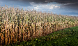 Ripe maize field. Fenland maize field awaiting harvest royalty free stock image