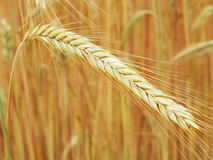 Ripe Malted Barley golden seed head closeup ready for summer harvest. Focus on single horizontal sheaf of malted barley highlighted in a field of golden malted Royalty Free Stock Image