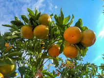 Ripe mandarin on a tree branch. Blue sky on the background. stock photos