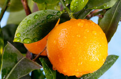 Ripe mandarin on a tree branch. Ripe tangerines on a tree branch. Blue sky on the background Stock Photos