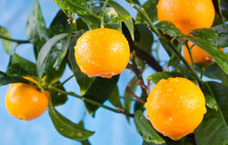 Ripe mandarin on a tree branch. Ripe tangerines on a tree branch. Blue sky on the background Royalty Free Stock Images