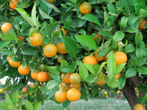 Tangerine tree. Ripe mandarin tree growing in the farm garden stock photo