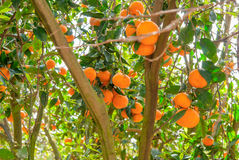 Ripe Mandarin Tree Growing In The Farm Garden. Royalty Free Stock Image