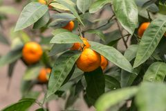 Ripe mandarins on a branch Royalty Free Stock Photos
