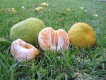 Ripe mandarins in green grass Stock Image
