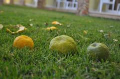 Ripe mandarins in green grass Royalty Free Stock Images