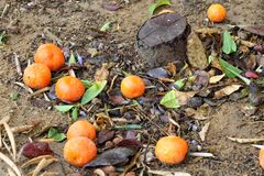 Ripe Mandarins on a leafy Ground in Autumn rainy day.  Stock Photo