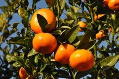 Mandarin oranges, growing on tree stock photography