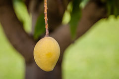 Ripe Mango Hanging from a Tree Royalty Free Stock Photo