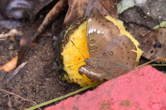 Brown Butterfly drinking mango nector Royalty Free Stock Photos