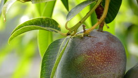 Ripe mango tropical fruit hanging at branch of tree stock video