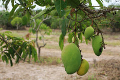 Ripe Mangoes hanging on trees Stock Photography