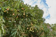 Ripe mangoes on tree. Bunch of fresh mangoes hanging from tree. royalty free stock photo