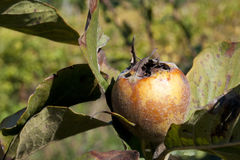 Ripe Medlar Fruit Stock Photo