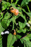 Ripe medlar fruits Royalty Free Stock Photography