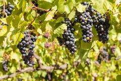 Ripe merlot grapes on vine in vineyard at harvest time. Bunches of ripe merlot grapes on vine in vineyard at harvest time royalty free stock photos