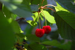 Ripe merrys. Mature and sweet merry on a tree Stock Images