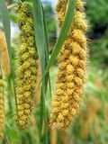 Ripe Millet Heads Royalty Free Stock Images