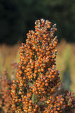 Ripe Milo (Sorghum). Head of a ripe milo or sorghum plant. Sorghum is a gluten-free grain stock image
