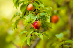 Almost ripe mirabelle tree Royalty Free Stock Photo