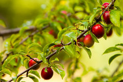 Almost ripe mirabelle tree Stock Images