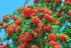 Ripe mountain ash among green foliage Stock Image