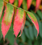 Ripe mountain ash leaves Stock Photography