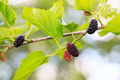 Ripe mulberries in green foliage Royalty Free Stock Image