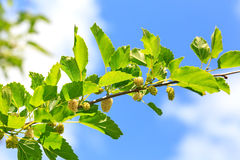 Ripe mulberries in  green foliage Stock Photos