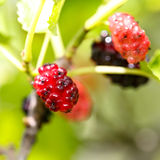 Ripe mulberries in  green foliage Stock Photo